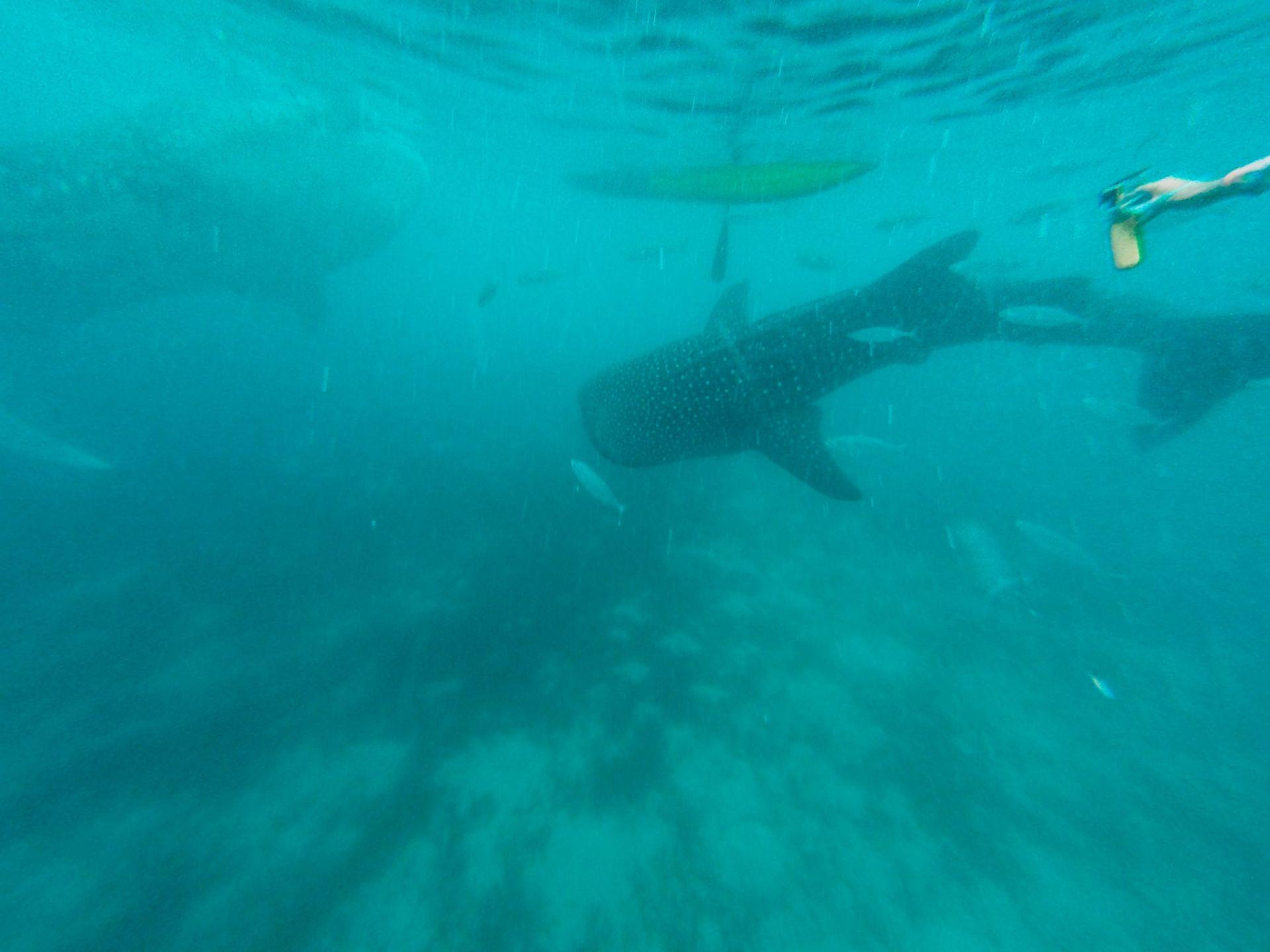 Tubarão Baleia Filipinas
